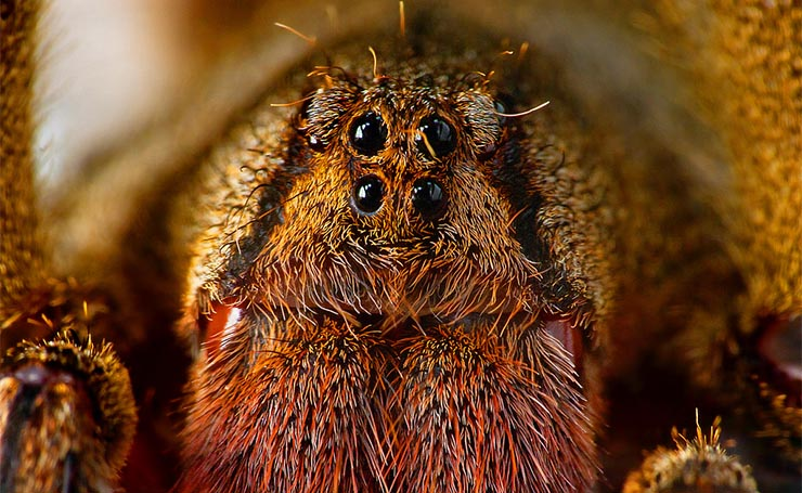 mely pókok merevedést okoznak)