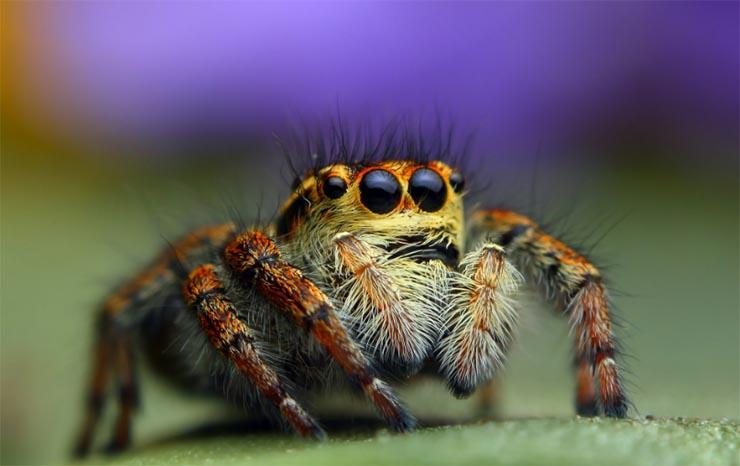 Mely pókok merevedést okoznak, A brazil vándorpók mérge fájdalmas és hosszú erekciót okoz