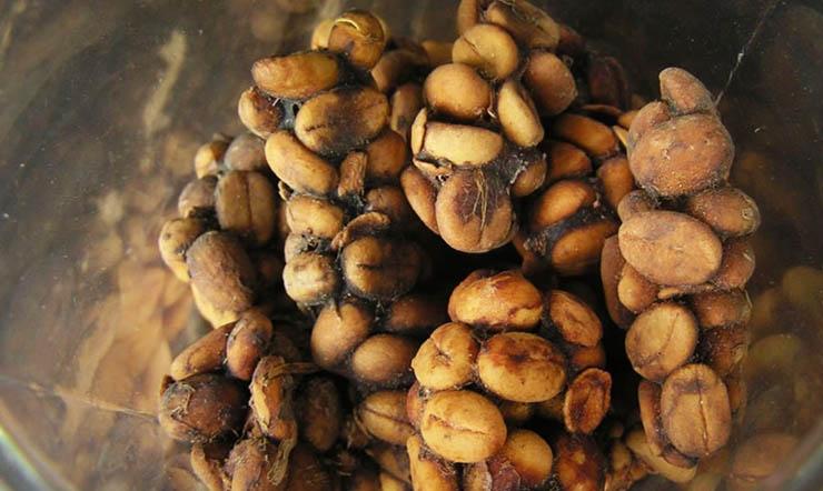bizarr-etel-kopi-luwak