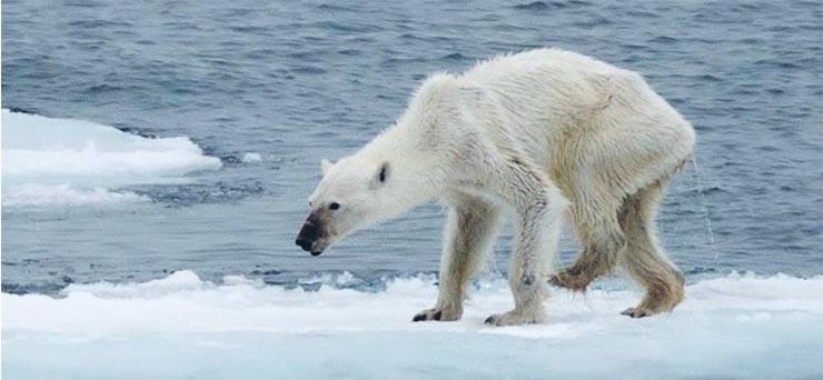 ehezo-jegesmedve