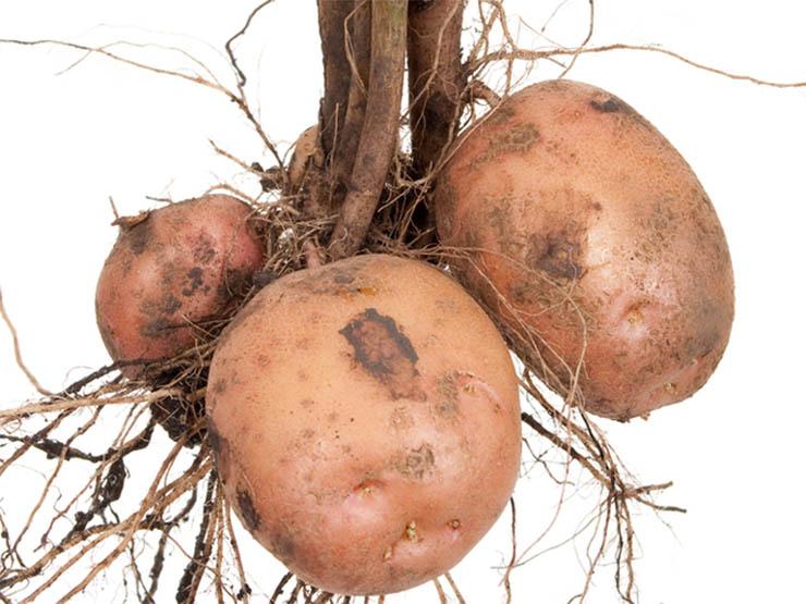 krumpli-a-laz-ellen