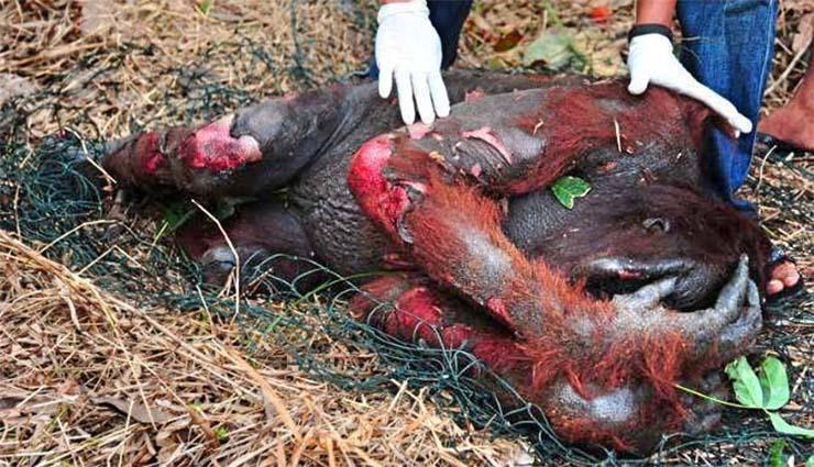 megegett-orangutan