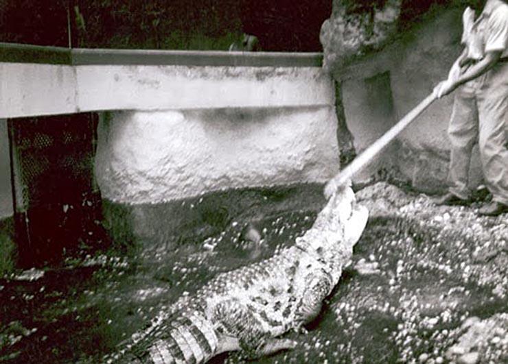 aligatorok-a-csatornaban