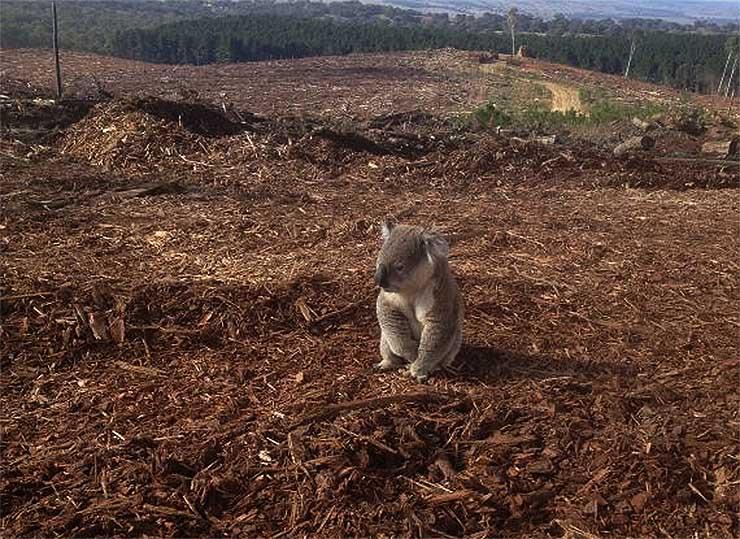 hajlak-nelkuli-koala
