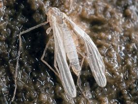 troglocadius-hajdi