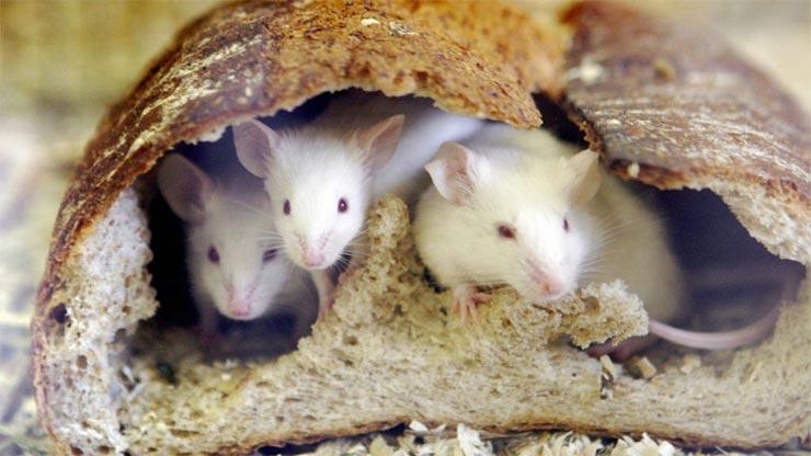 kiserleti-egerek