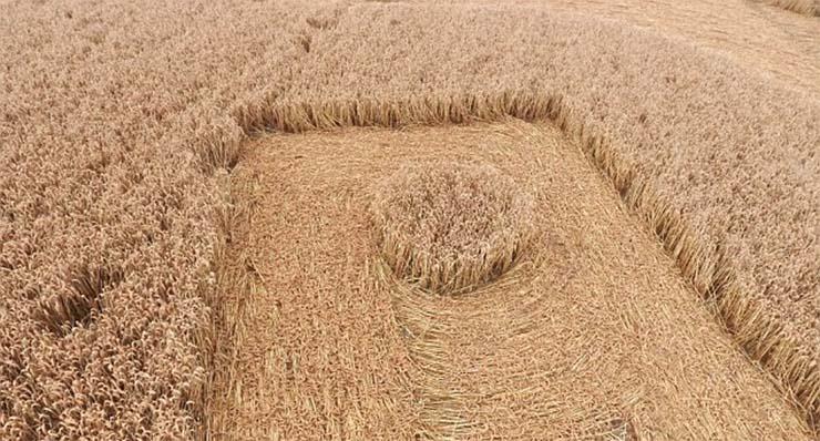 gabonakor-szvasztika-2